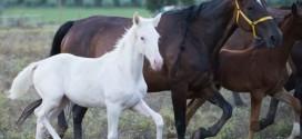 É già una star la cavallina albina nata ad Assisi